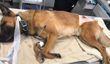 bomb-sniffing-dog-wounded